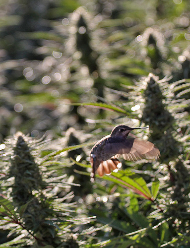 Flowering Cannabis Nurturing the Hummingbird.