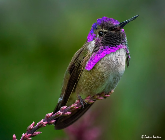 Most beautiful hummingbird in the world.