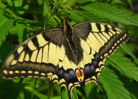 Beautiful Butterfly Perched on a Hemp Plant image from google images