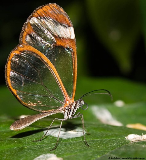 Glasswing Butterfly image from google images