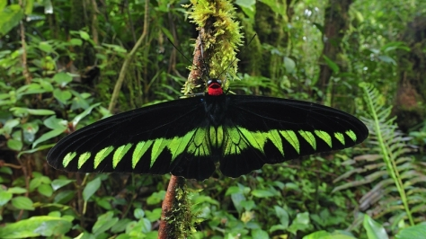 Huge Butterfly in Malaysia image from google images