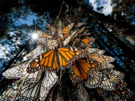 The Monarch Butterflies in Mexico During Migration image from google images