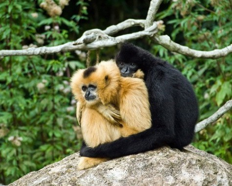 Gibbons are the nearest relatives to humans that mate for life. image and information from www.